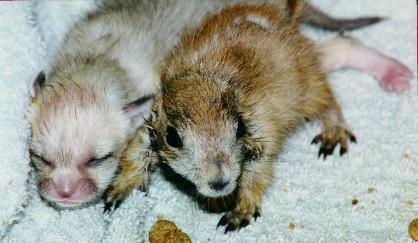 R-Zu-2-U - Prairie Dog Babies
